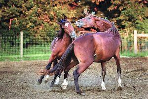Hallelujah horse mustang stallions playing in paddocks.