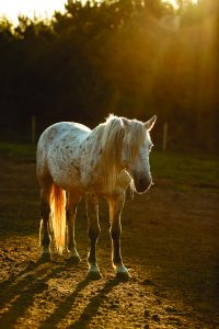 Stallion, a Hallelujah horse mustang, standing in rays of sunlight.