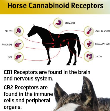 hemp and cbd in the horse