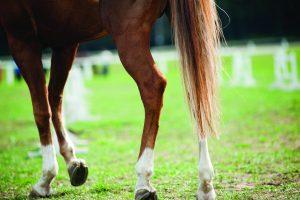 Horse legs while walking.