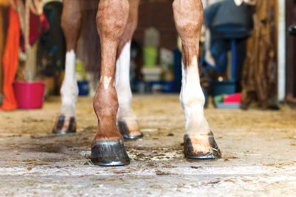 Horse Hooves - Hoof