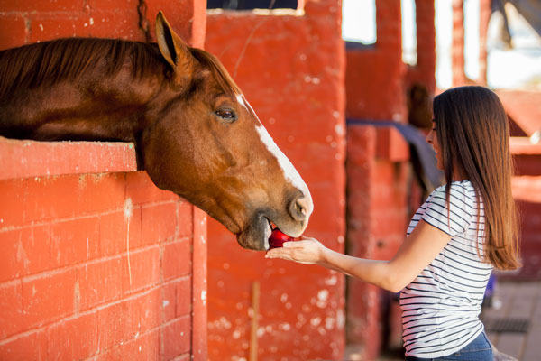 Horse Eating Apple - Holiday Treat for Your Horse