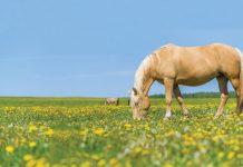 Horse grazing in field.