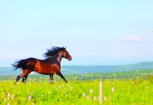 Arab racer runs on a green summer meadow.