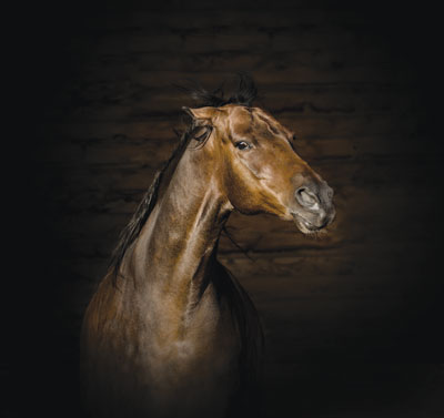 Horse close up in barn.