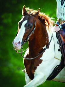 American Paint Horse portrait in summer.