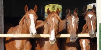 Four Horses Staring