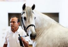 Andalusians and Lusitanos Crowned at IALHA Nationals 2019