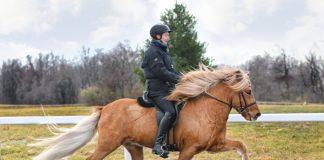 Icelandic Horse tölt