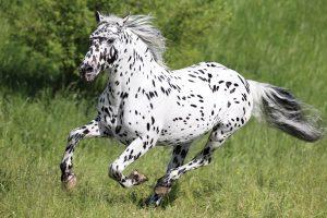 A Knabstrupper horse running.