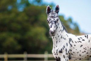 A knabstrupper horse up close.