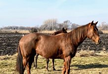 My Right Horse Adoptable Horse of the Week - Patenna