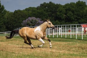 Light colored American Paint horse.