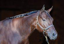 Mane Banding a Western Horse