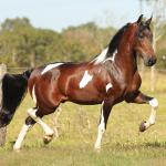 Mangalarga Marchador - Horse Breeds of South America