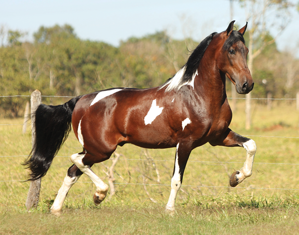 Mangalarga Marchador - Horse Breeds of South America