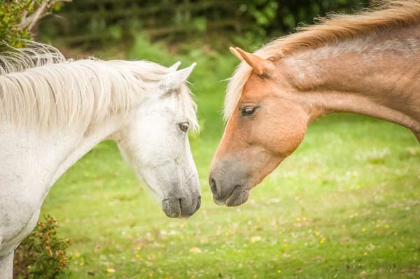 New Forest Pony stallion and mare