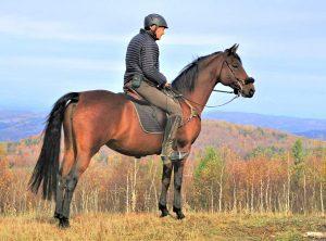 A Morgan Horse from American Morgan Horse Association