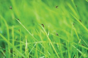Mosquitoes flying in grass.