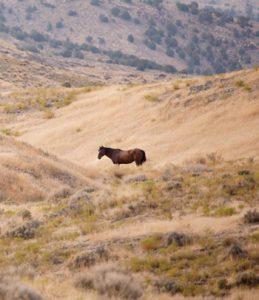 Lone Mustang