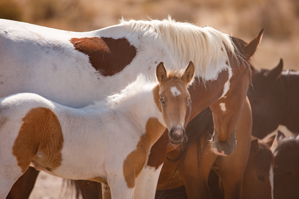 American Mustang Mare and Foal