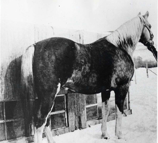 Old Fred - American Quarter Horse