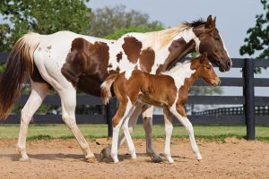 Mare and foal American Paint horse.