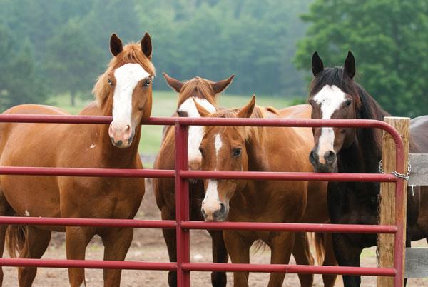 Horses at a Gate - horse pasture rehab
