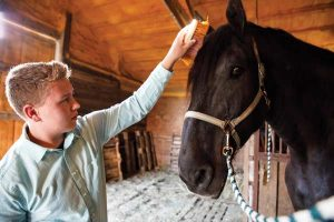 Grooming a Percheron