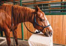 Sedated Horse