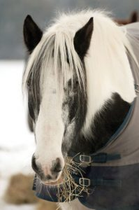 Black and white horse close up.