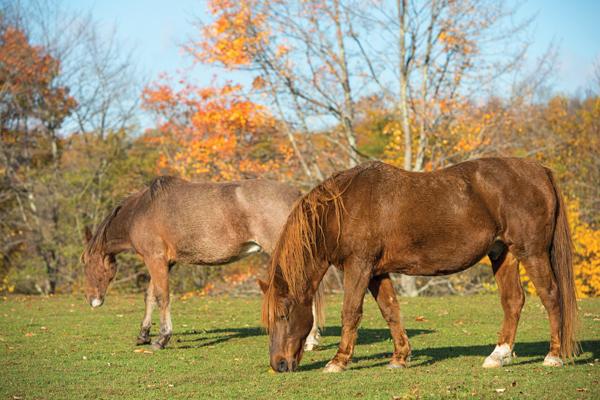 Senior horses at pasture