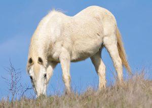 Long Shaggy Coat - Equine Cushing's Disease
