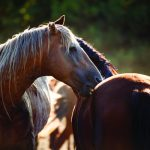 Stallions grooming each other.