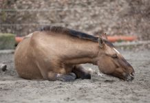 Sick Horse or Horse with Colic During COVID-19