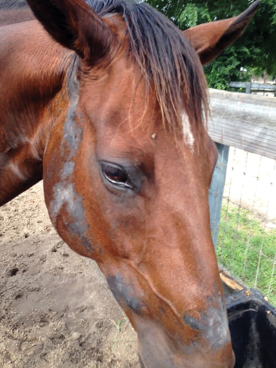 Horse Skin Conditions - Ringworm