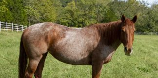 My Right Horse Adoptable Horse of the Week Suri for May 11, 2020