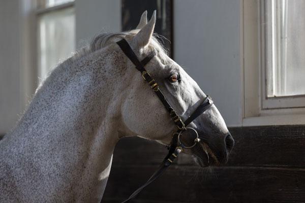 Favory VIII Bellanna stallion headshot