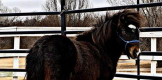 Tomahawk ASPCA adoptable miniature horse