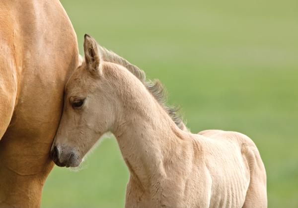 Orphaned Mustang foal