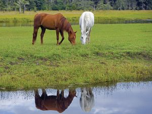 Horses by a Pond