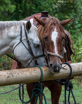 Wet Western Horses Tied Up