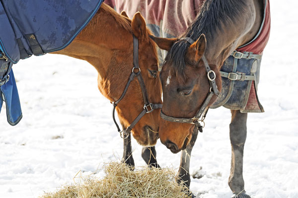 Winter Horsekeeping Problems Nutrition Hay Blankets