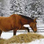 Feeding hay during winter