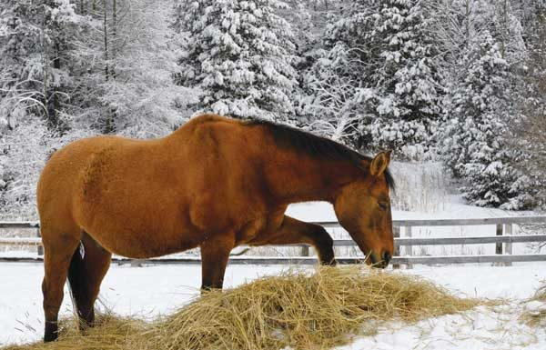 Feeding hay during winter