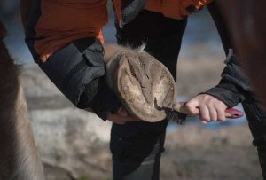 Prevent thrush from mud, picking out hooves