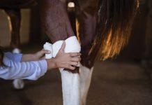 Wrapping injured horse leg.