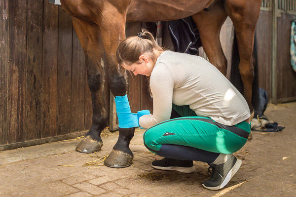 Wrapping a Horse Leg for an Injury