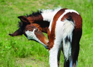 Bashkir Curly horse foal.