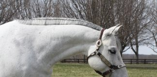 Banding a western horse